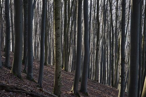beech-wood-318347_640.jpg